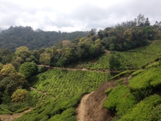 Tea tree plantation in Munnar, Kerala, India