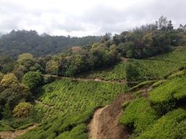 Tea tree plantation in Munnar, Kerala, India
