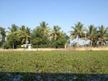 Lilypads in Kerala backwaters, India